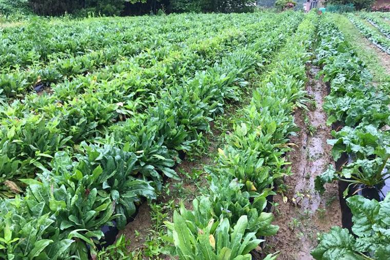 畑でのパステル栽培の様子