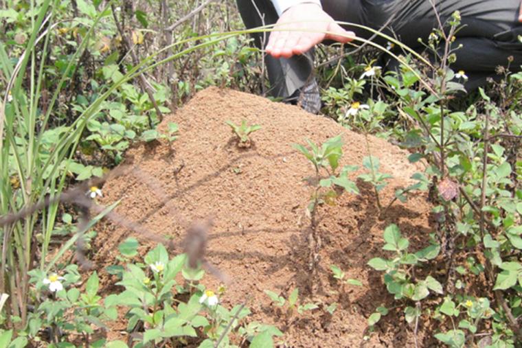 ヒアリの巣の写真